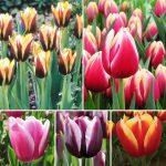 Сорта тюльпанов, фото, описание некоторых сортов